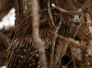 An adult Blakiston's fish owl with a dolly varden trout.