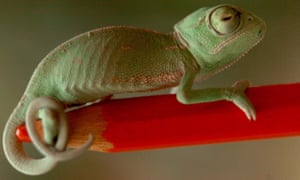 A veiled chameleon, Chamaeleo calyptratus, sticks to a pencil in the zoo of Debrecenepa00967287 A tiny baby veiled chameleon, Chamaeleo calyptratus, sticks to a pencil in the zoo of Debrecen, 245 kms east of Budapest, Hungary, Sunday, 25 March 2007. This is the first time this species of raptors successfully propagated themselves in this zoo. Baby chameleons hatched out of 23 of the 40 eggs laid by their mother. EPA/TIBOR OLAH HUNGARY OUT