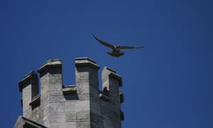 Peregrine above Chichester cathedral