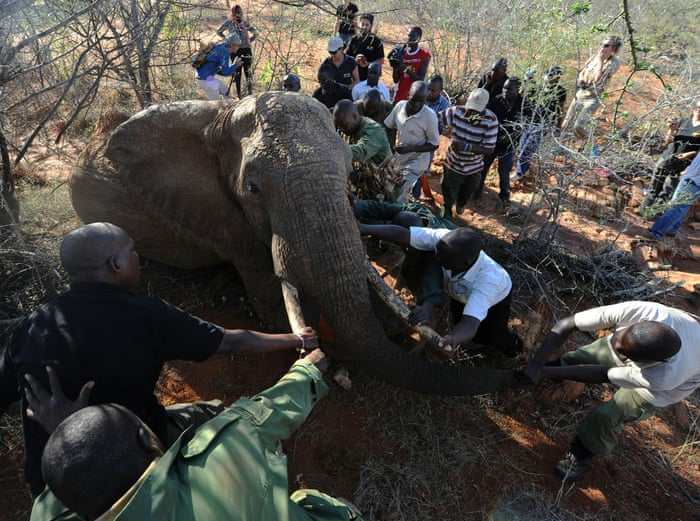 Elephant In Room That Needs To Be >> If We Stopped Poaching Tomorrow Elephants Would Still Be In Big