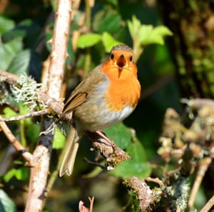 A robin sings to defend its territory in a mixed deciduous woodland alongside the River Teifi near Cilgerran, Wales