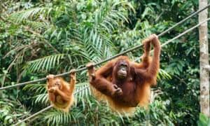 Mother and baby orangutans at Semenggoh Wildlife Centre.