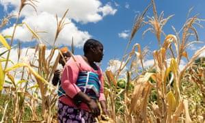 Future Nyamukondiwa inspects a stunted cob in her dry maize field in Mutok, Zimbabwe