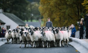 Tradition … sheep are herded across the new Pooley bridge at its ceremonial reopening.