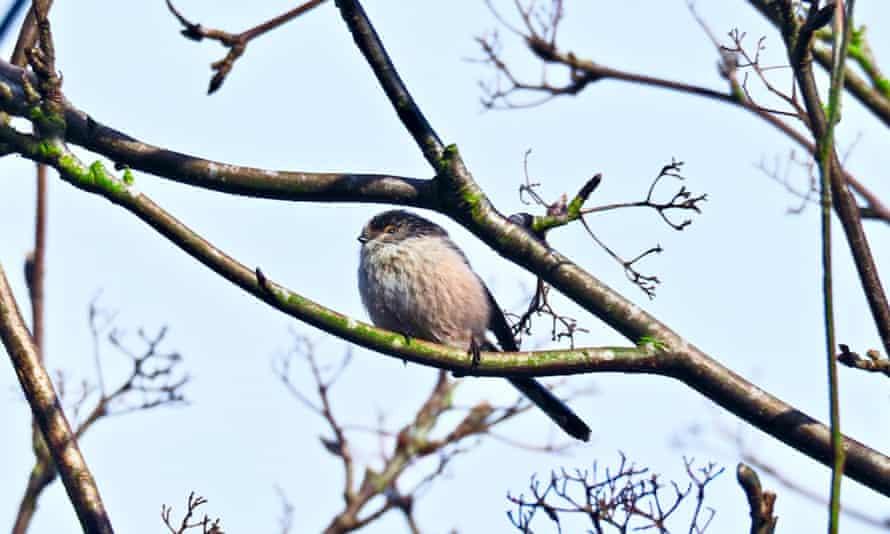 Long-tailed tit in a rowan tree.