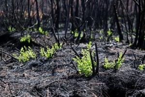 Osmaniye, Turkey. Plants begin to grow again after forest fire