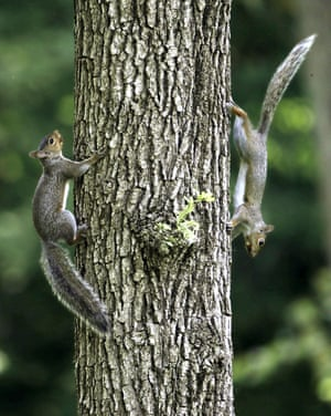 Two squirrels on a tree in Monza park in Villasanta, near Milan, Italy