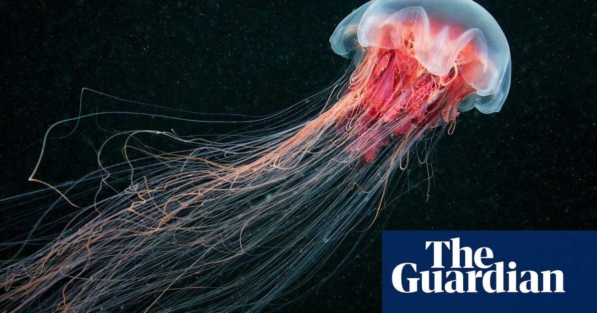 Hundreds Of Jellyfish Invade New Zealand Coastline New Zealand The Guardian
