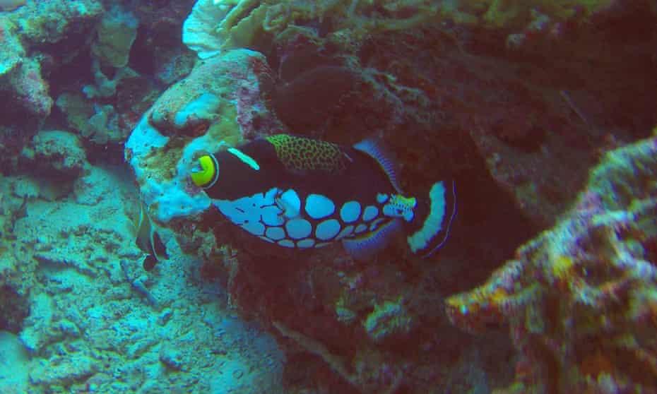 A harlequin clownfish.