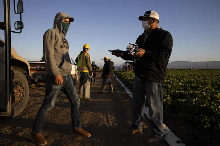 Farmworkers are given masks before harvesting a field in Greenfield, California.