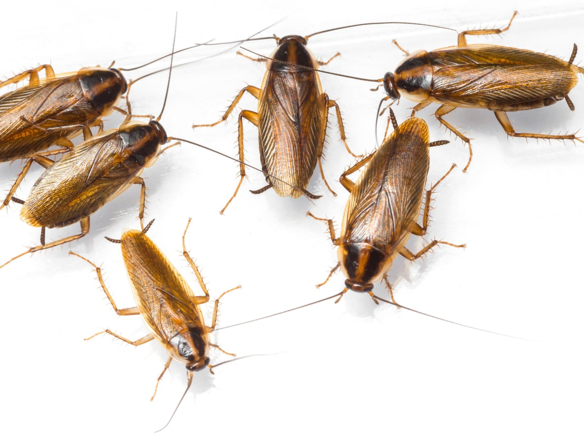 Cockroaches could soon be almost impossible to kill with pesticides | Environment | The Guardian