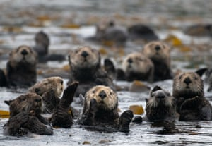 A sea otter colony feed on kelp near Elkhorn Slough, an estuary in Monterey Bay, California. Studies show that sea otters have a positive impact on Elkhorn Slough's seagrass