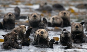 Sea otters eat 25% of their body weight each day to maintain their body heat.