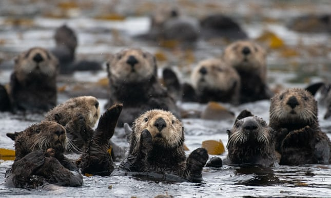 Furry engineers: sea otters in California's estuaries surprise scientists