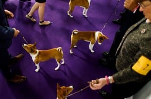 Basenjis stand with their handlers before competition during the 2019 Westminster Kennel Club Dog Show in New York