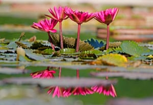 Stuttgart, Germany: Water lilies blooming in a pond in Wilhelma zoo