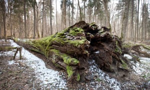 Small-leaved lime that died and fell recently in Poland's Białowieża Forest