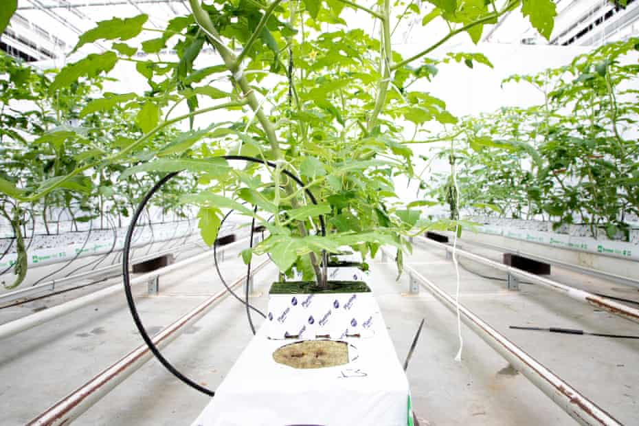 Plants growing on rockwool in the greenhouse at Wageningen University