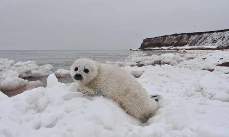 A 'whitecoat' harp seal pup on Prince Edward Island. Fewer seals are being born in the Gulf of St Lawrence, fewer adults will return in future years, eroding a good source of income for islanders.