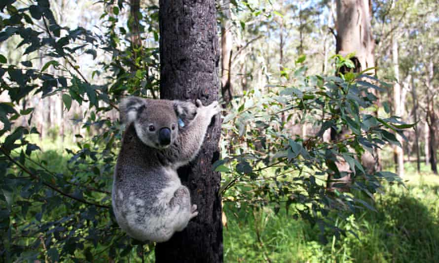 Koala released into the bush