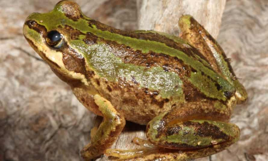 The alpine tree frog is one of the species under threat from a fungal disease sweeping frog populations.