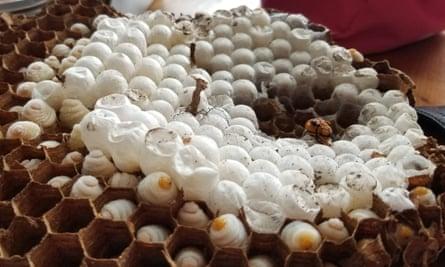 Inside the giant hornets' nest