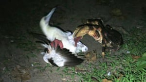 Coconut crab seen attacking bird for first time