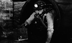 As well as being kept as pets, canaries were used also by UK miners to alert them to the presence of dangerous gases.