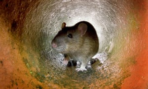 A rat in the sewer system.