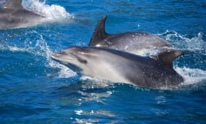 Bottlenose dolphins in the Queen Charlotte Sound, South Island, New Zealand.