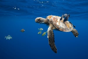 A sea turtle being cleaned by fish beneath the waves some 10 miles off the coast of Mexico