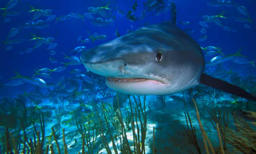 Tiger sharks protected the seagrass meadows by stopping dugongs and turtles from overgrazing.