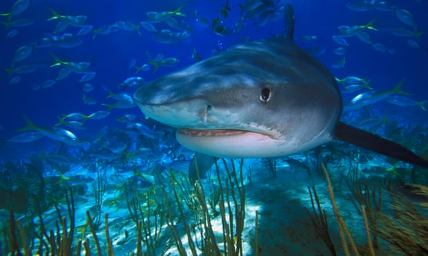 Sharks 'critical' to restoring damaged ecosystems, finds study