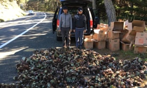 In March, two men were caught with hundreds of the plants in a van.