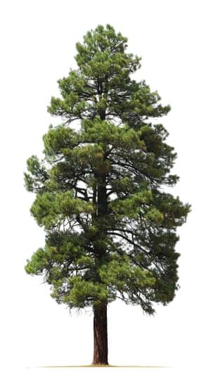 Ponderosa pine.