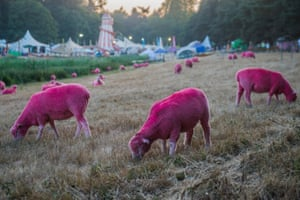 In the pink ... sheep graze at the Latitude festival.