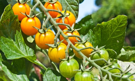 Gardens: ripen your tomatoes