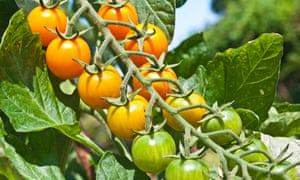 Palatable palette: green turning to orange Sungold cherry tomatoes ripening on the vine.