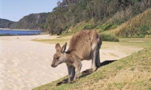 Kangaroo on Pebbly Beach, Batemans Bay, Shoalhaven, South Coast