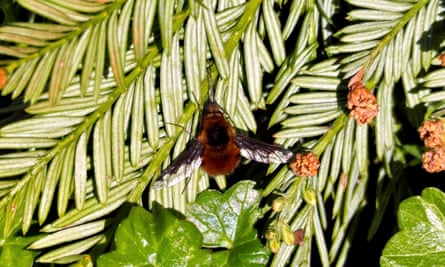 A bee-fly