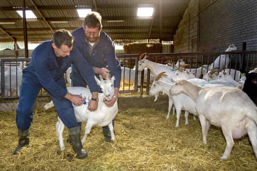 A vet vaccinates a goat against Q-fever