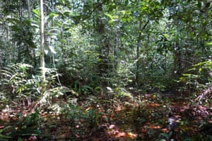 The new study found that the central Congo peatlands cover 145,500 square kilometres – an area larger than England.