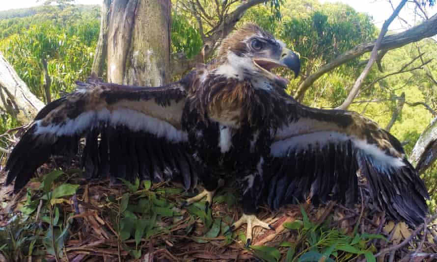 A Tasmanian wedge-tailed eagle
