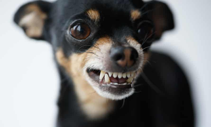 Close-up angry little black dog of toy terrier breed on a white background