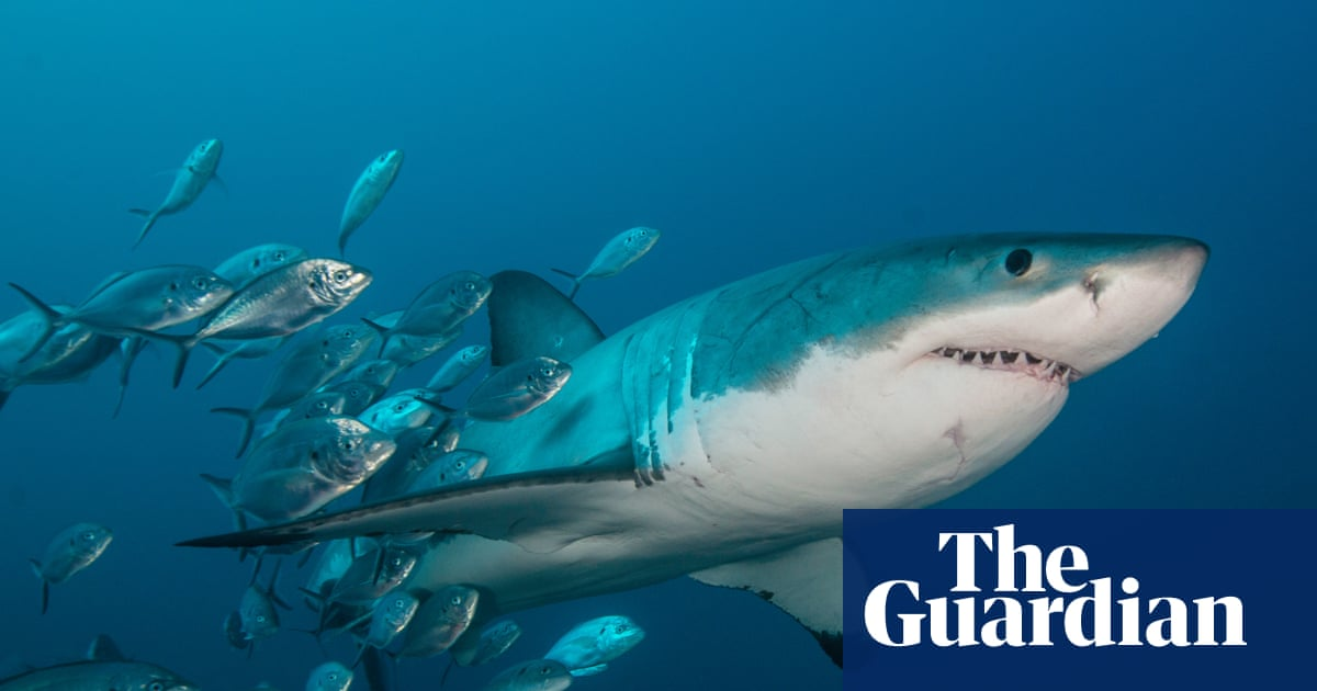 Great white shark attacks on humans may be case of mistaken identity, study suggests