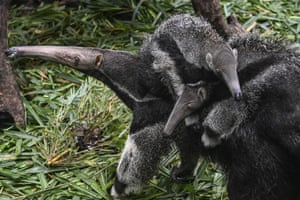A female giant anteater and her three-month-old twin cubs at the Chimelong safari park in Guangzhou, Guangdong province, China