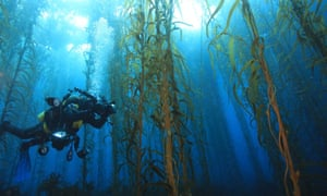 A diver swimming in a kelp forest