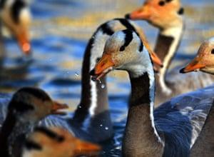 Bar-headed geese swim in a lake at Longwangtang Park in Lhasa, Tibet