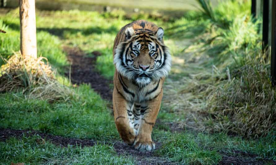 Asim, the newly arrived tiger