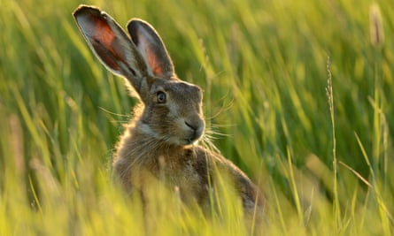 A hare in a grass field in the UK